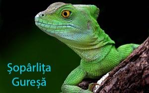 soparlita_soparla_guresa