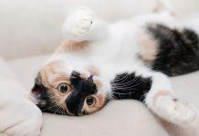 pisica_pisici_feline_matza_pisoi